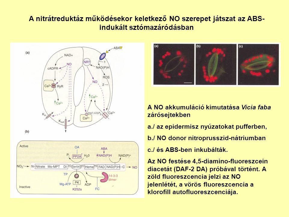A nitrátreduktáz működésekor keletkező NO szerepet játszat az ABS-indukált sztómazáródásban