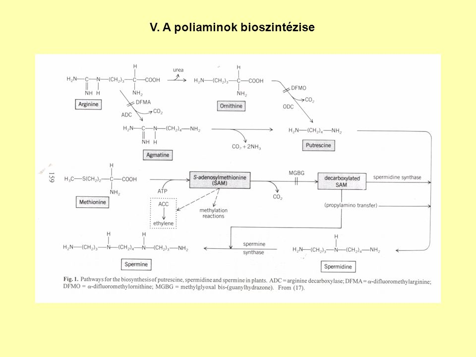 V. A poliaminok bioszintézise