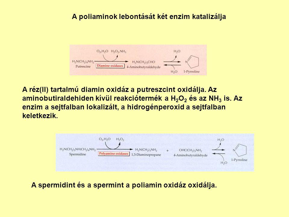 A poliaminok lebontását két enzim katalizálja