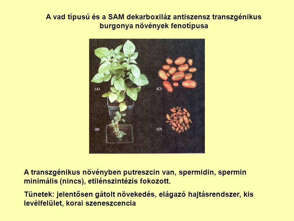 A vad típusú és a SAM dekarboxiláz antiszensz transzgénikus burgonya növények fenotípusa