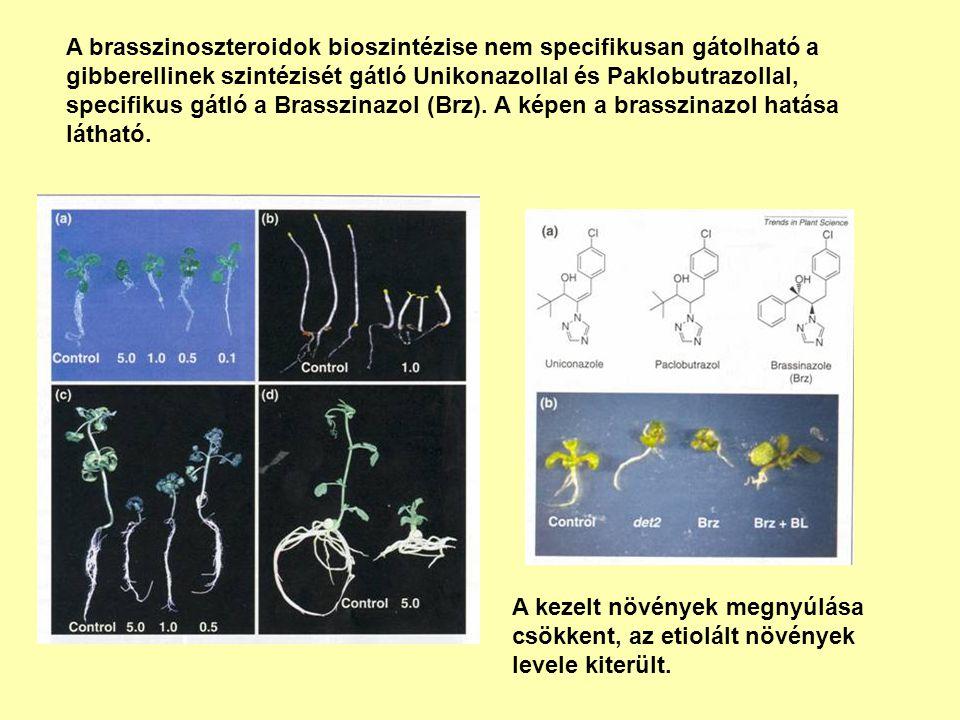 A brasszinoszteroidok bioszintézise nem specifikusan gátolható a gibberellinek szintézisét gátló Unikonazollal és Paklobutrazollal, specifikus gátló a Brasszinazol (Brz). A képen a brasszinazol hatása látható.
