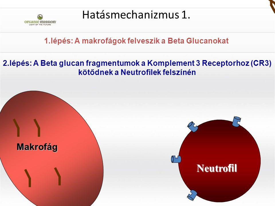 1.lépés: A makrofágok felveszik a Beta Glucanokat