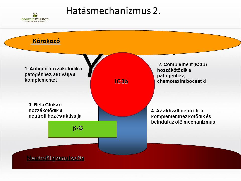 Y Hatásmechanizmus 2. Kórokozó iC3b b-G Neutrofil granulocita