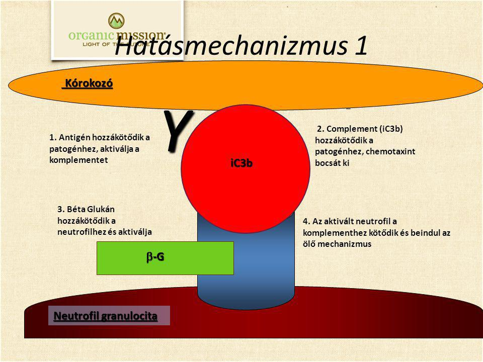 Y Hatásmechanizmus 1 Kórokozó iC3b b-G Neutrofil granulocita