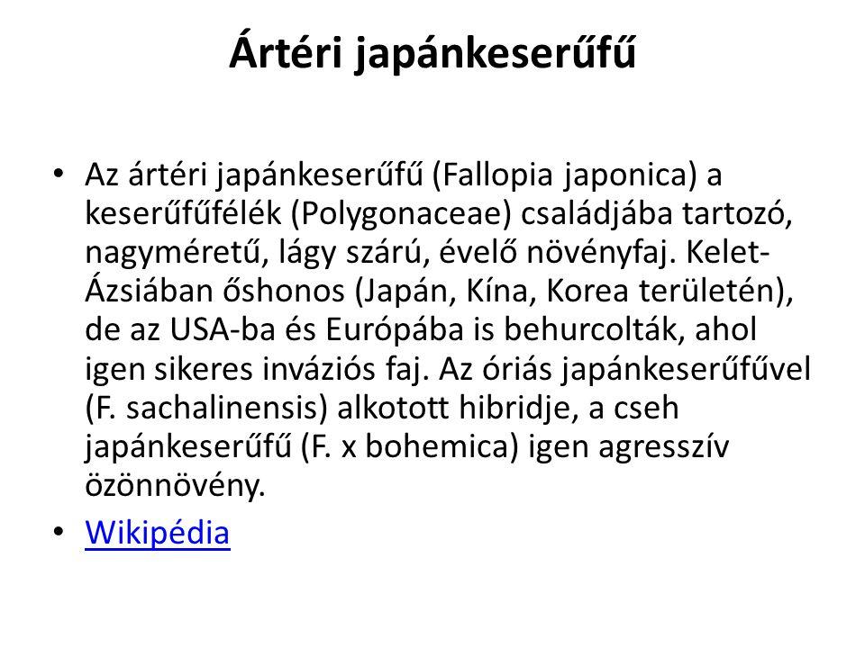 Ártéri japánkeserűfű