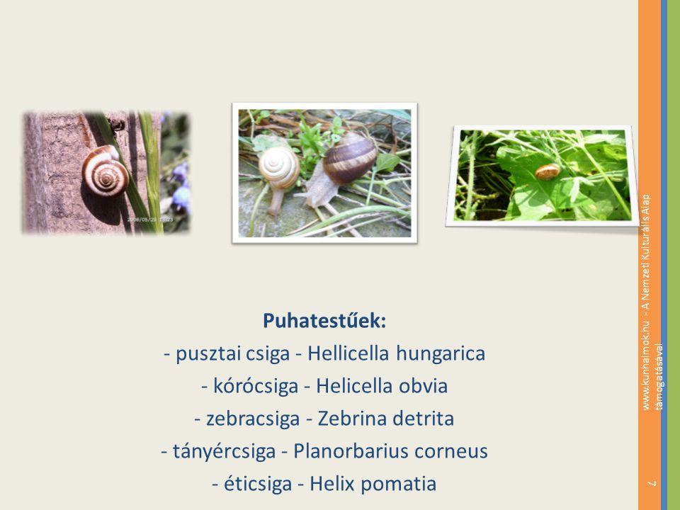 - pusztai csiga - Hellicella hungarica - kórócsiga - Helicella obvia