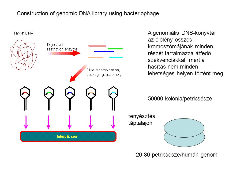 Construction of genomic DNA library using bacteriophage
