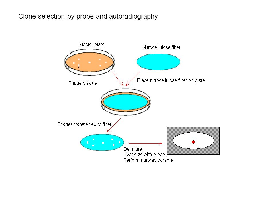 Clone selection by probe and autoradiography