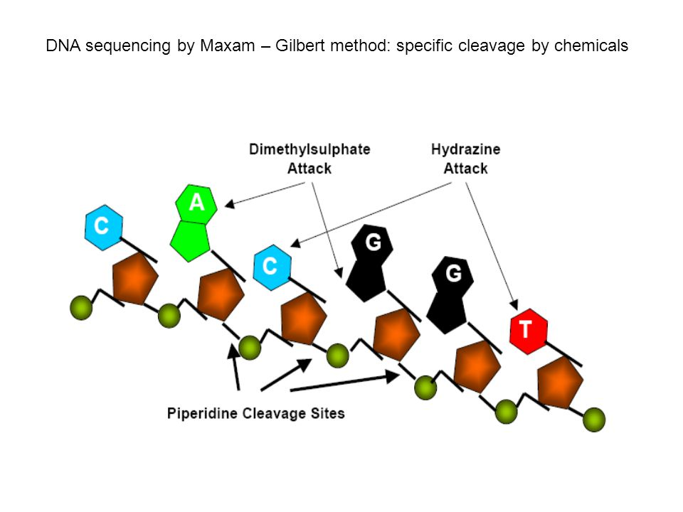 DNA sequencing by Maxam – Gilbert method: specific cleavage by chemicals