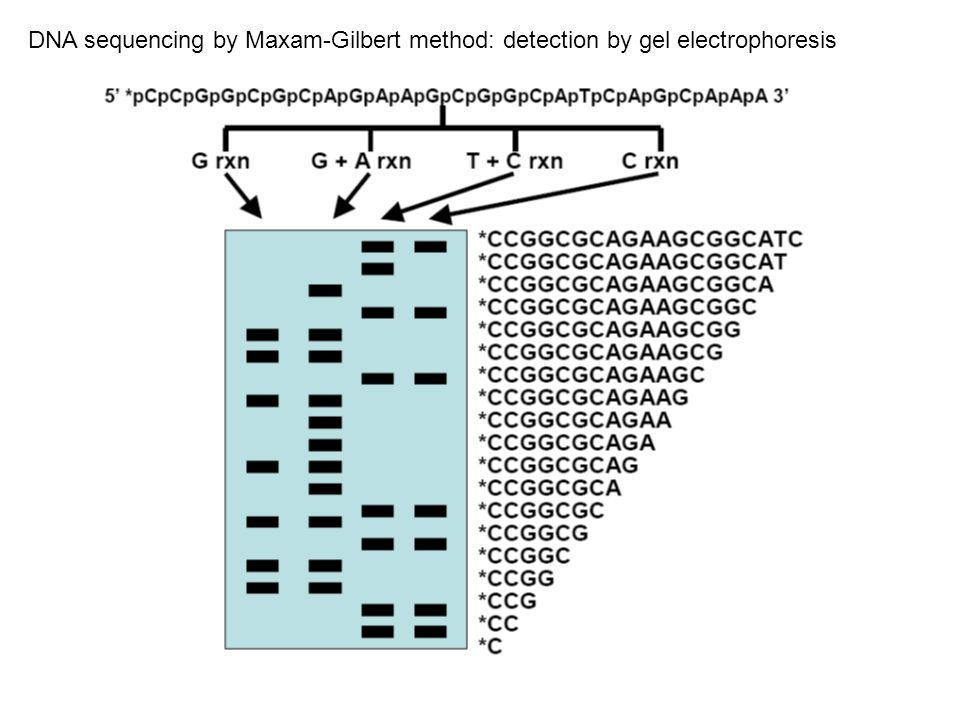 DNA sequencing by Maxam-Gilbert method: detection by gel electrophoresis