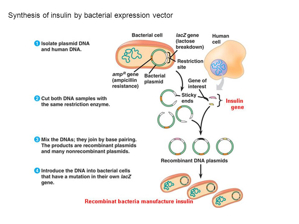 Synthesis of insulin by bacterial expression vector