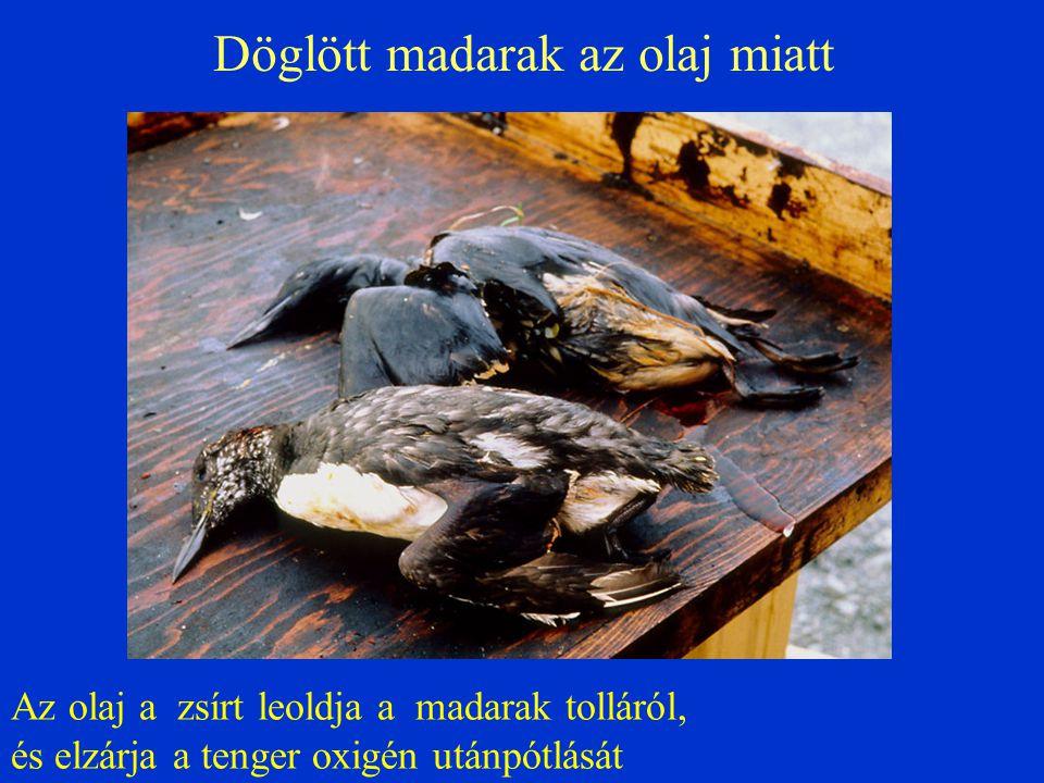 Döglött madarak az olaj miatt