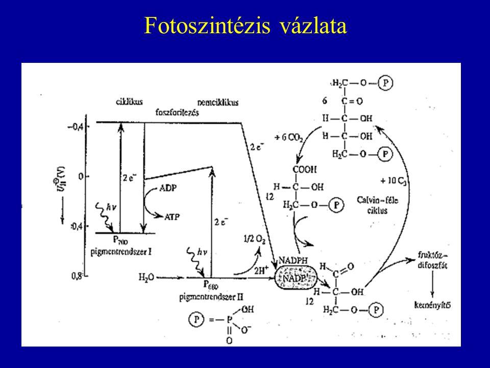 Fotoszintézis vázlata