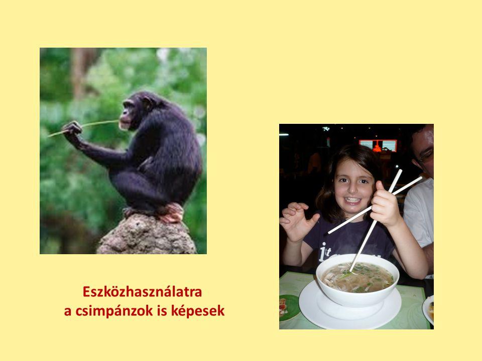 a csimpánzok is képesek