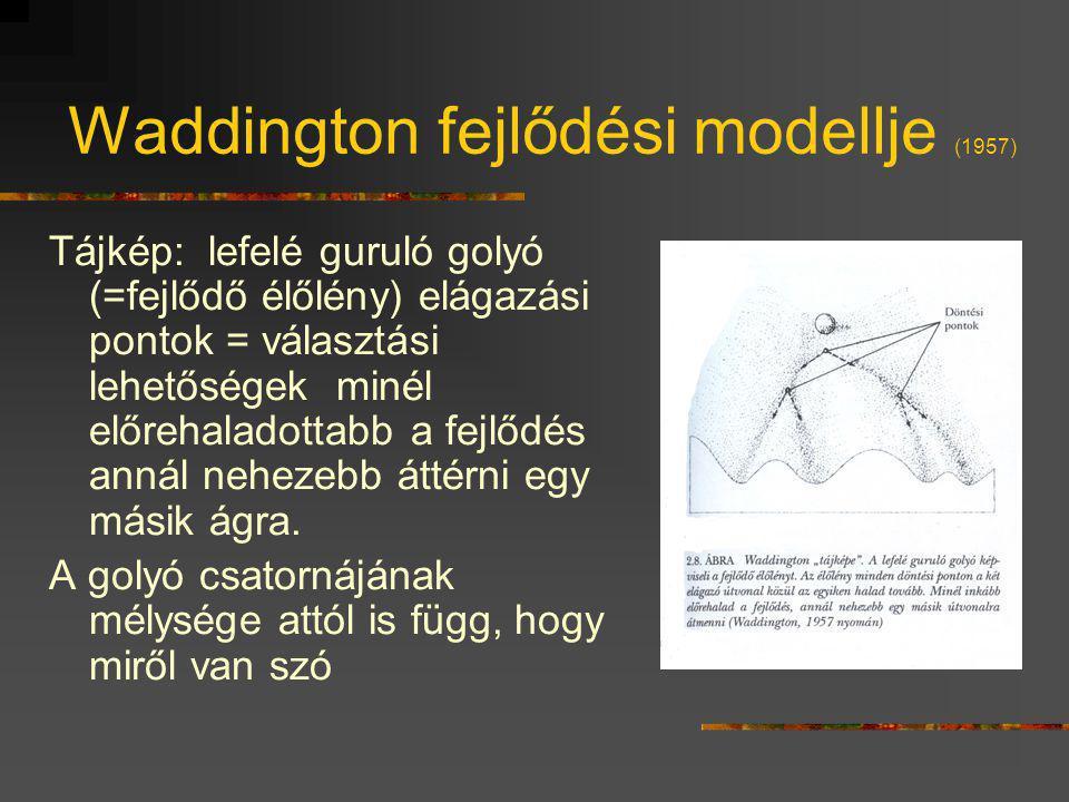 Waddington fejlődési modellje (1957)