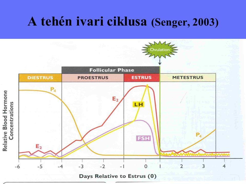 A tehén ivari ciklusa (Senger, 2003)