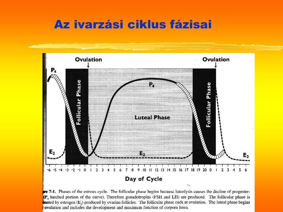 Az ivarzási ciklus fázisai