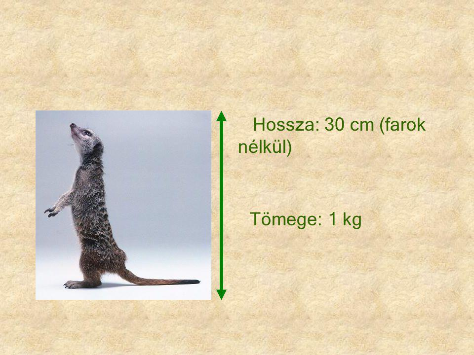 Hossza: 30 cm (farok nélkül)