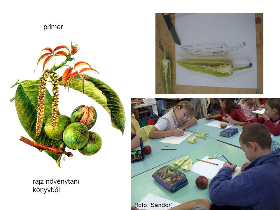 rajz növénytani könyvből