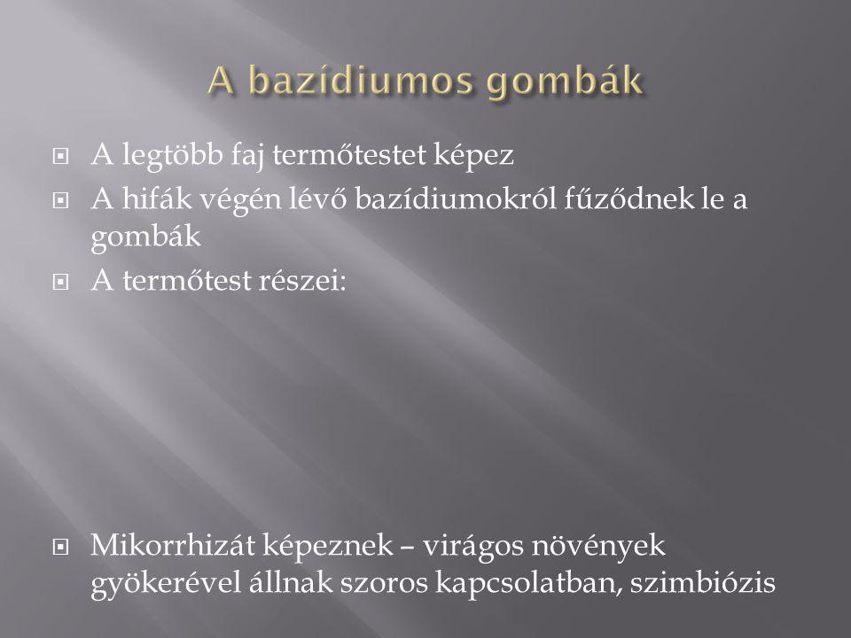 A bazídiumos gombák A legtöbb faj termőtestet képez