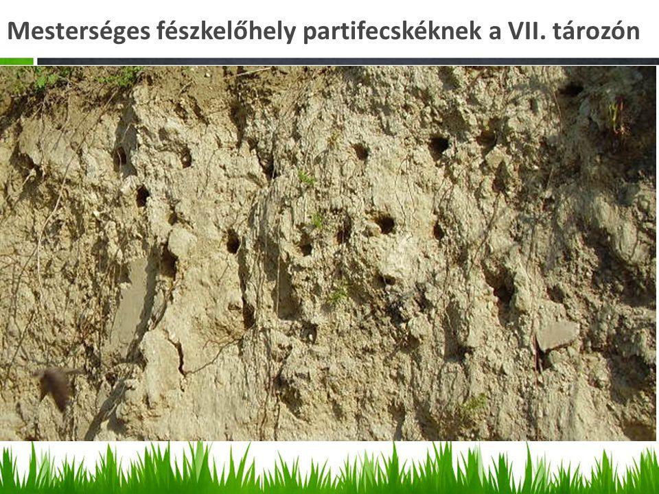 Mesterséges fészkelőhely partifecskéknek a VII. tározón