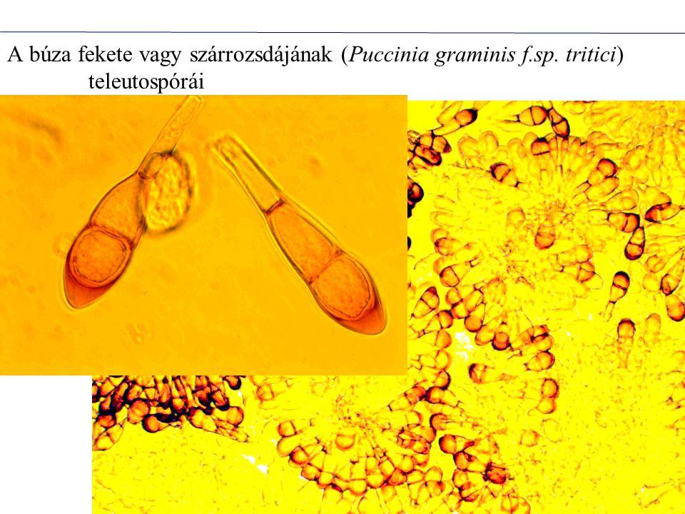 A búza fekete vagy szárrozsdájának (Puccinia graminis f. sp