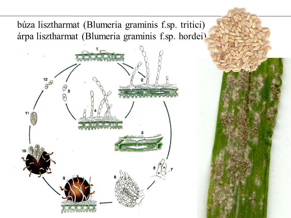 búza lisztharmat (Blumeria graminis f. sp