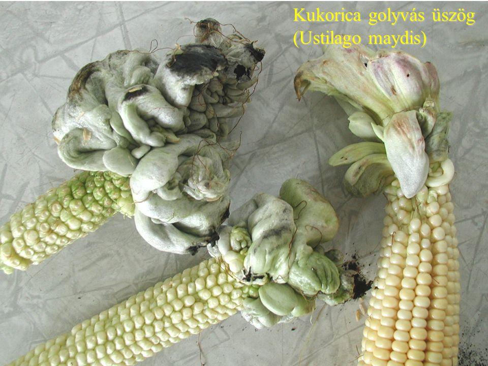 Kukorica golyvás üszög (Ustilago maydis)