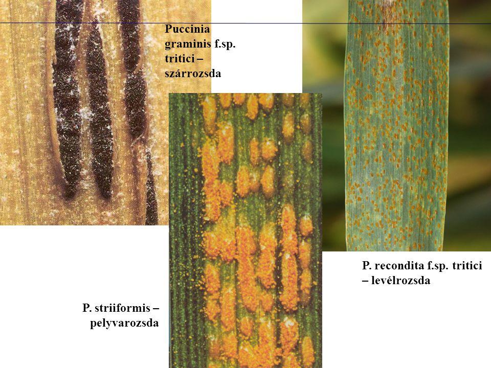 Puccinia graminis f.sp. tritici – szárrozsda