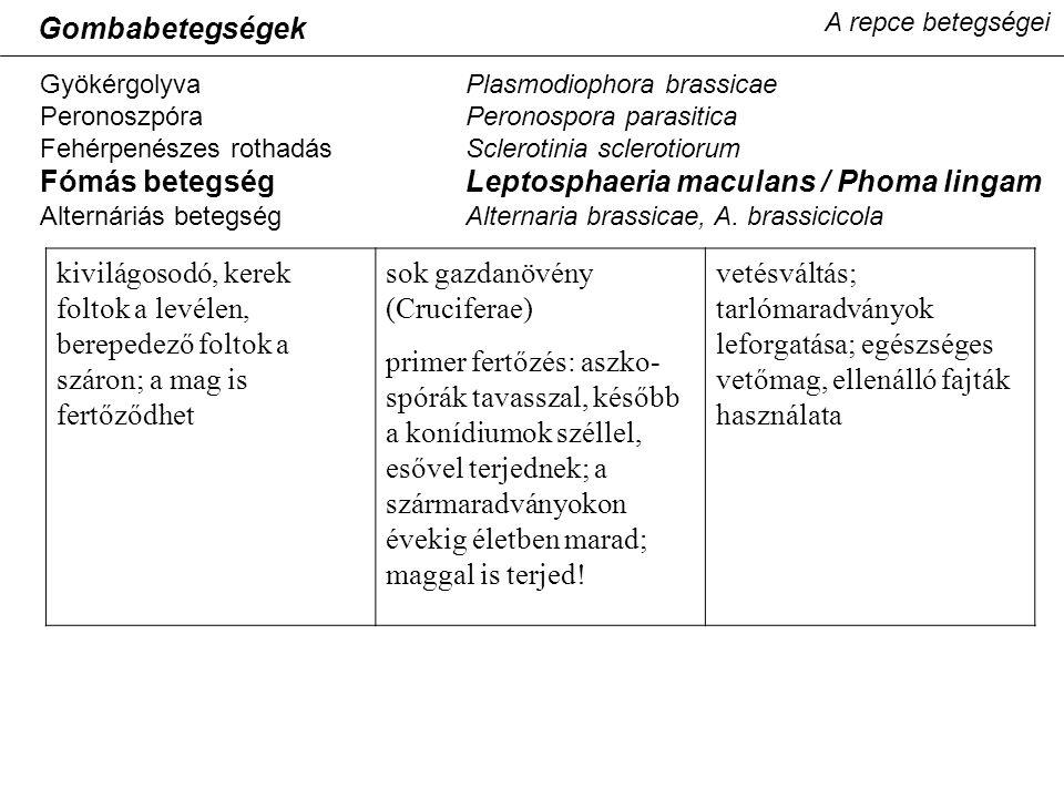Fómás betegség Leptosphaeria maculans / Phoma lingam
