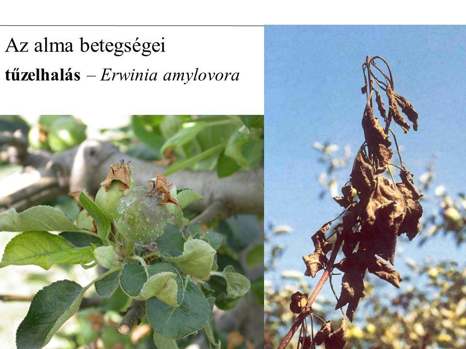 tűzelhalás – Erwinia amylovora