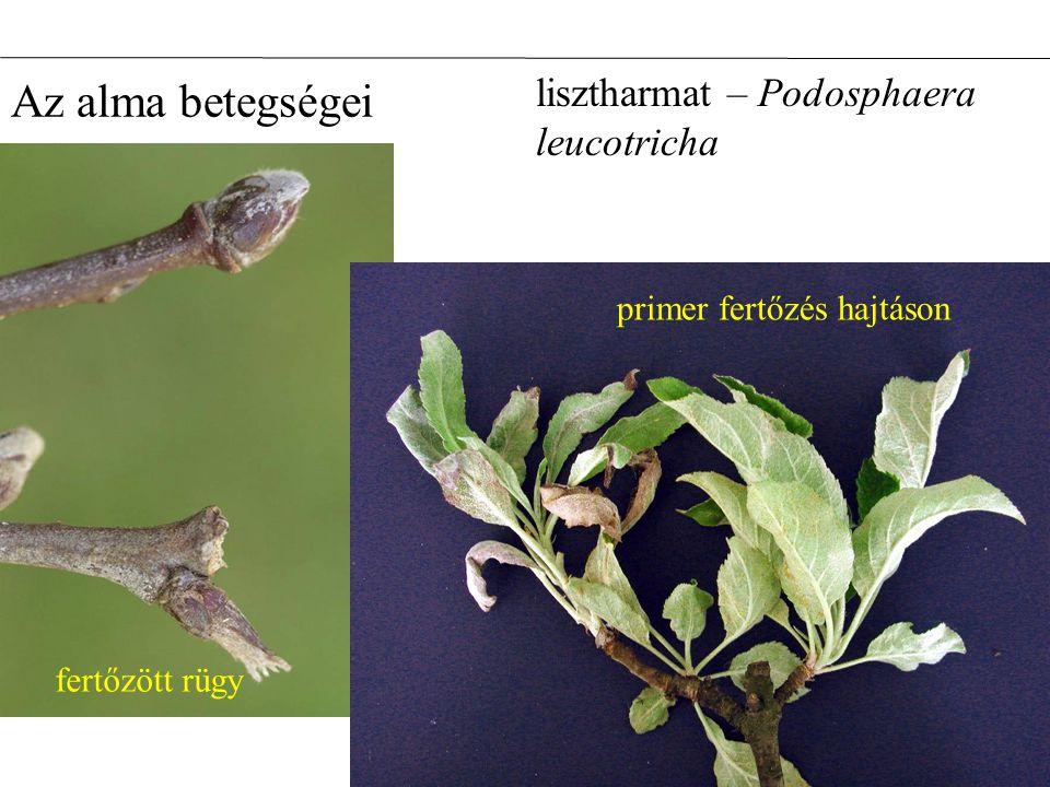 lisztharmat – Podosphaera leucotricha