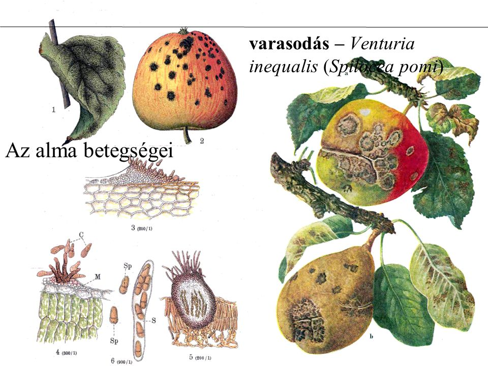 varasodás – Venturia inequalis (Spilocea pomi)