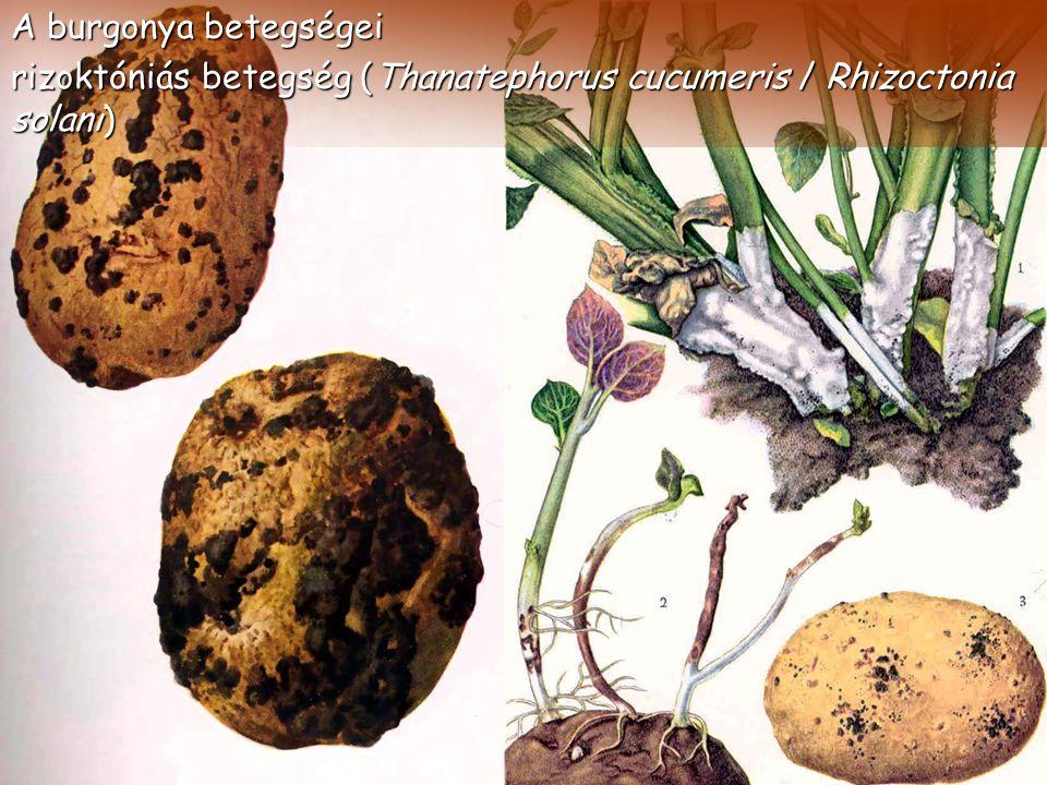 A burgonya betegségei rizoktóniás betegség (Thanatephorus cucumeris / Rhizoctonia solani)