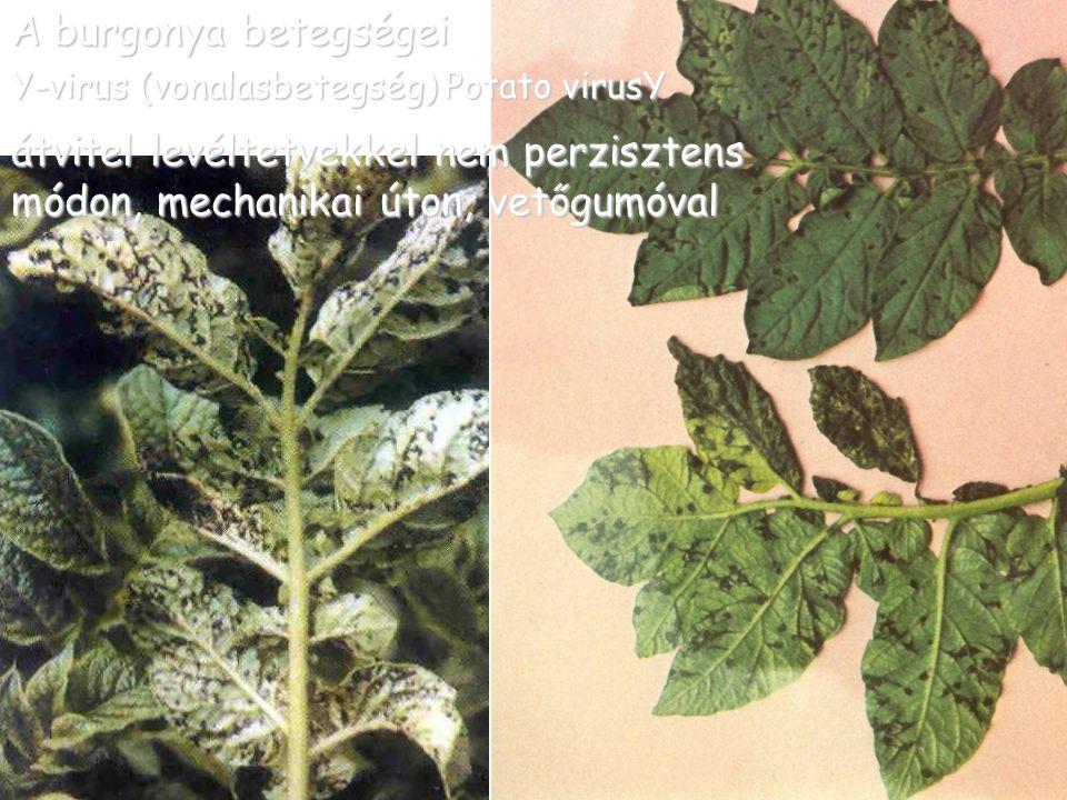 A burgonya betegségei Y-virus (vonalasbetegség) Potato virusY
