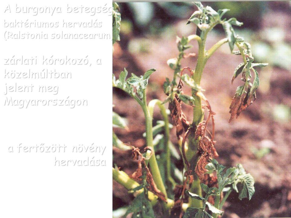 A burgonya betegségei baktériumos hervadás (Ralstonia solanacearum)