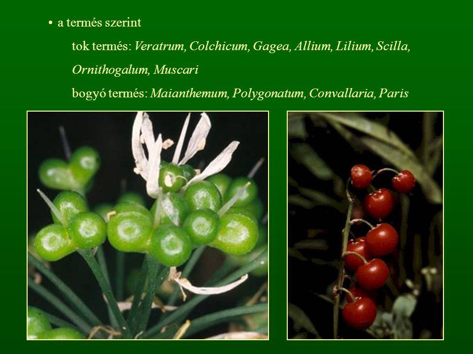 a termés szerint tok termés: Veratrum, Colchicum, Gagea, Allium, Lilium, Scilla, Ornithogalum, Muscari.