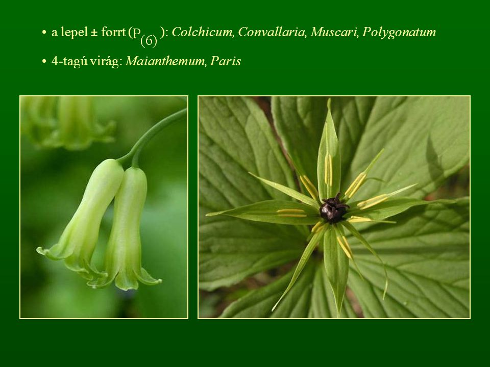 a lepel ± forrt ( ): Colchicum, Convallaria, Muscari, Polygonatum