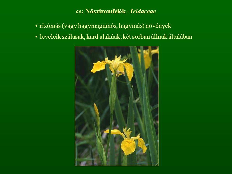 cs: Nősziromfélék - Iridaceae