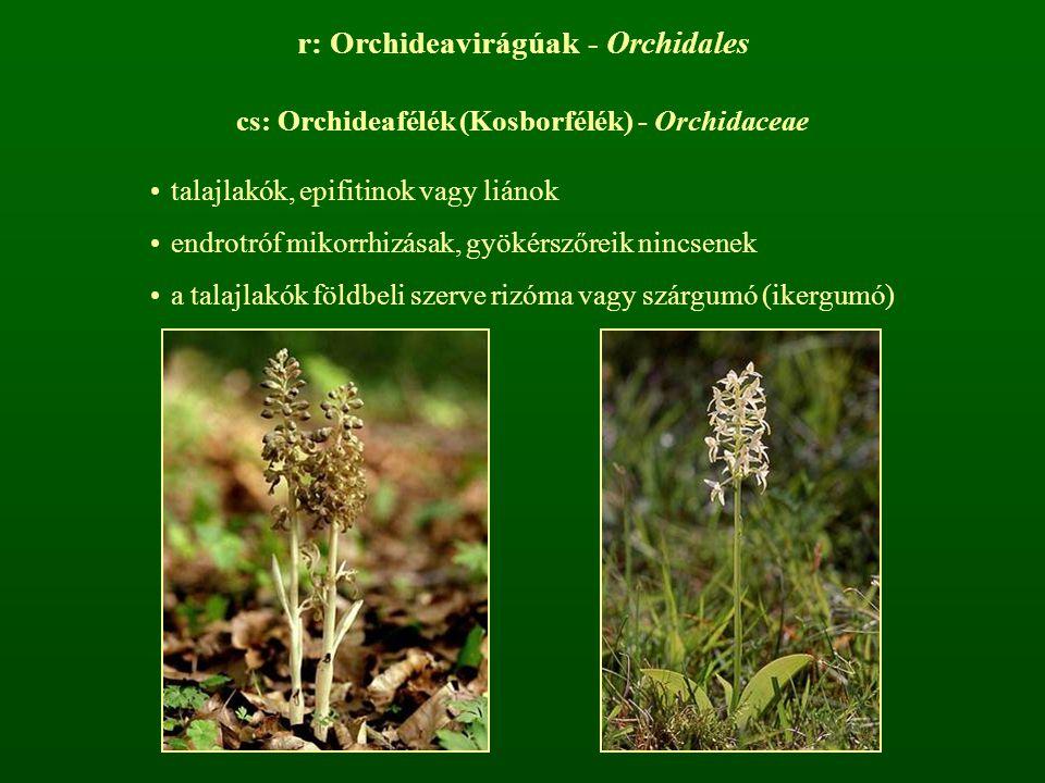 r: Orchideavirágúak - Orchidales