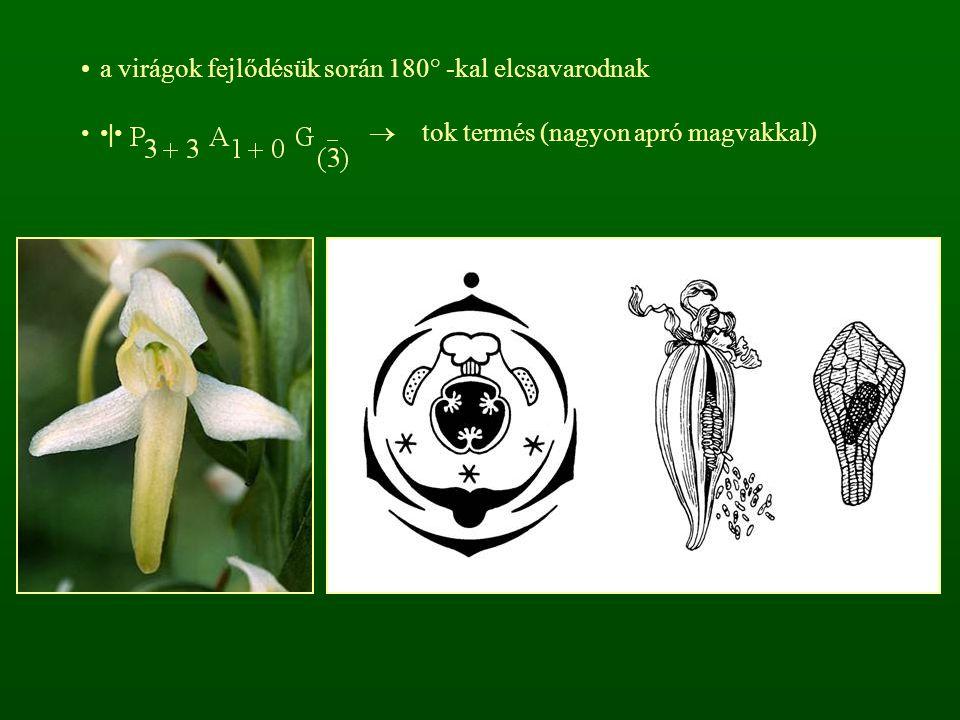 a virágok fejlődésük során 180° -kal elcsavarodnak