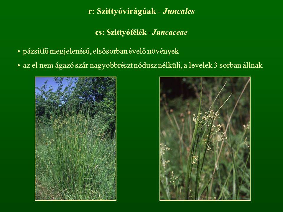 r: Szittyóvirágúak - Juncales