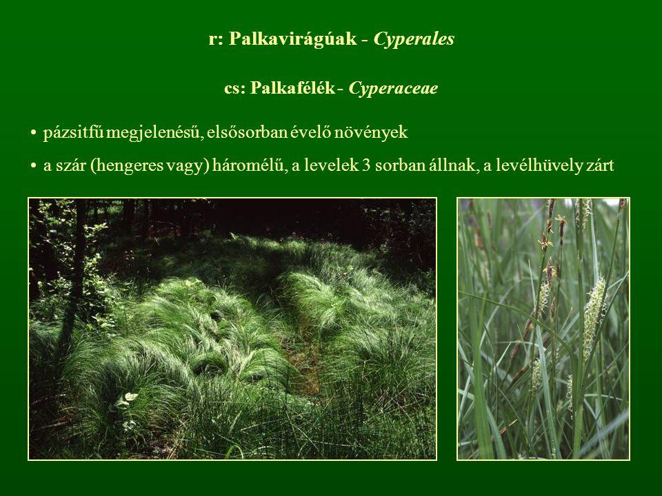 r: Palkavirágúak - Cyperales