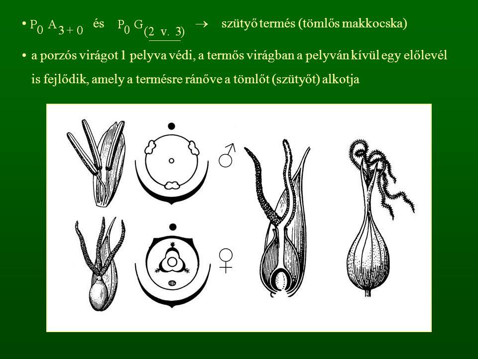 ♂ ♀ és  szütyő termés (tömlős makkocska)
