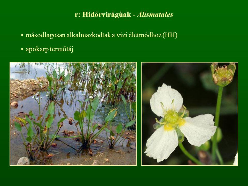 r: Hídőrvirágúak - Alismatales
