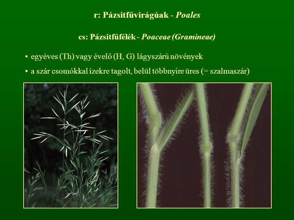 r: Pázsitfűvirágúak - Poales