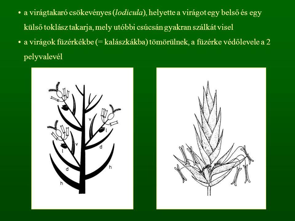 a virágtakaró csökevényes (lodicula), helyette a virágot egy belső és egy külső toklász takarja, mely utóbbi csúcsán gyakran szálkát visel