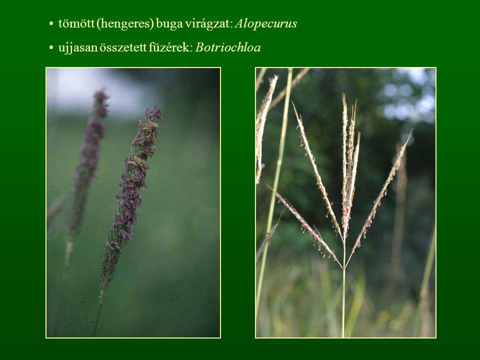 tömött (hengeres) buga virágzat: Alopecurus