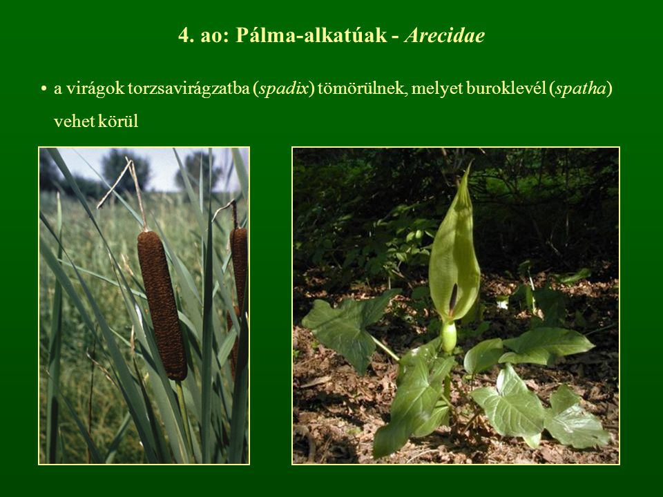 4. ao: Pálma-alkatúak - Arecidae
