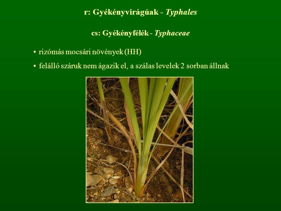r: Gyékényvirágúak - Typhales